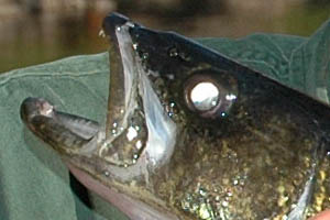 Eye shine - walleye fish sight